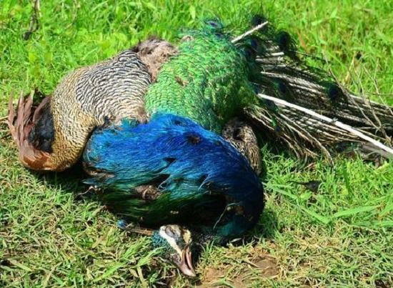 Surat: three peacocks found dead in Olpad; Bird flu infection suspected |