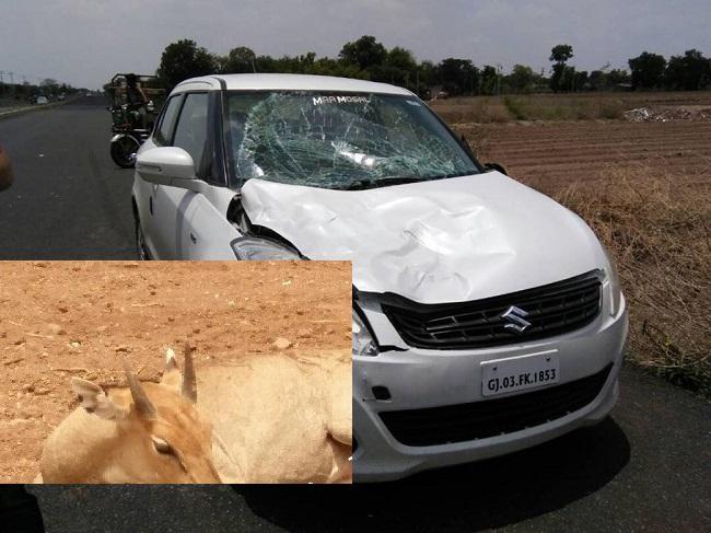 Nilgai injured on Rajkot Bhavnagar highway