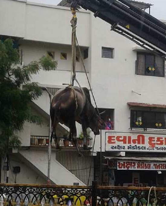 cow rescued in Ahmedabad