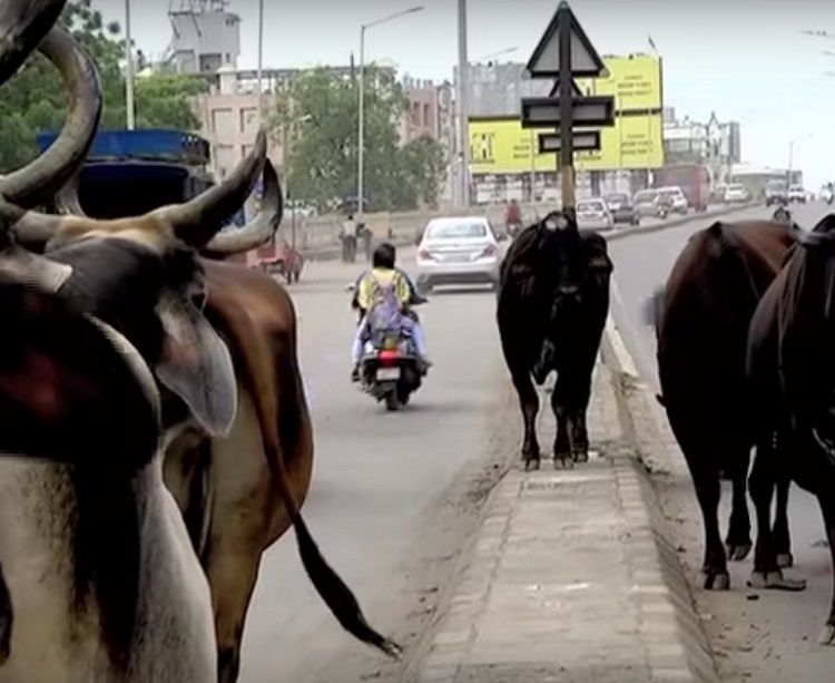 stray cattle problem in ahmedabad