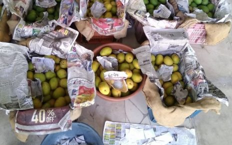 rajkot health authorities destroy 580 kg artificially rippened mangoes
