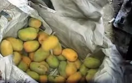 surat artifically ripen mangoes