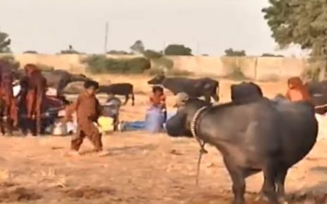 cattle rearers of kutch migrates