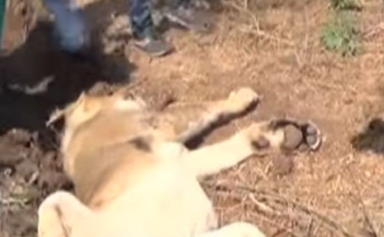 gir somnath lion cub dead