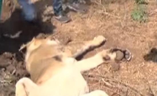 gir somnath lion cub dead