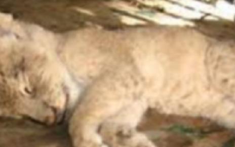 lion cub dead