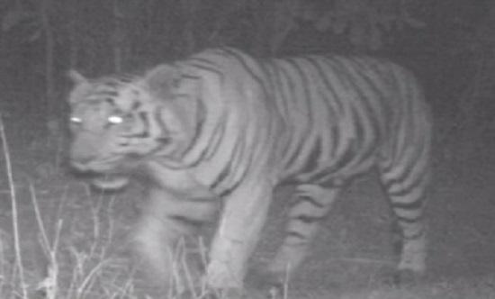 tiger presence in gujarat