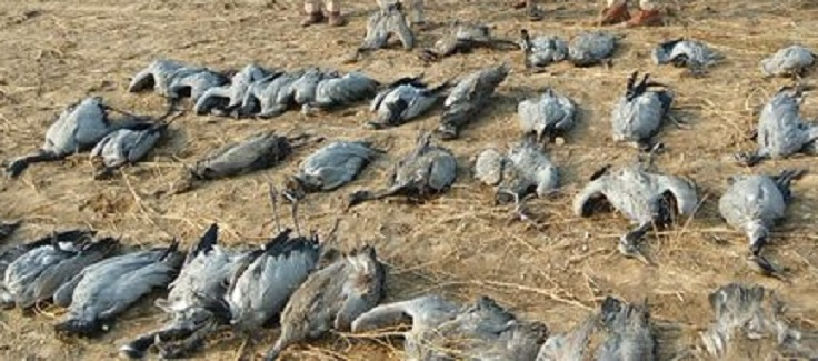 Migratory birds died in kutch